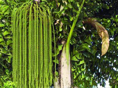 Kitul Tree